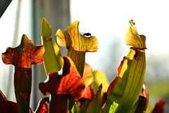 Playing With Fire (hearn_josh) Tags: pitcher plant carnivorous flies insects nature macro sarracenia purpurea plants