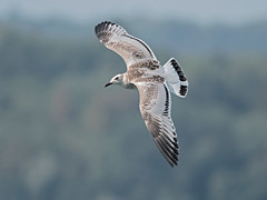 Gabbiano corallino - Ichthyaetus melanocephalus - Mediterranean gull (vieri bertola) Tags: uccelli lago viverone gabbiano corallino