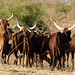 Cattle in Darfur State, Sudan