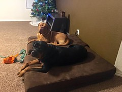 Maximus & Diesel (BigBarker) Tags: 1 mastiff rottweiler