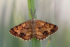 Moth (STE) Tags: moth falena