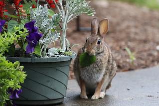 Cotton tail rabbit by  Russ Allison
