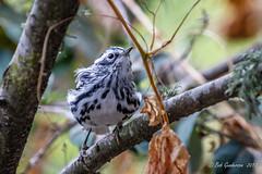Black-and-white Warbler (Bob Gunderson) Tags: birds blackandwhitewarbler california fortmason mniotiltavaria northerncalifornia sanfrancisco warblers woodwarblers