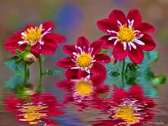 "Dahlias In ""Water"" (Mimi Ditchie) Tags: dahlia dahlias flower flowers flood fantasy reflection water"
