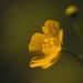 The light in the dark (Ralf_Budde) Tags: flickr ralfbudde blossom yellow nature garden mood