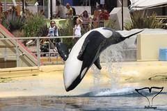 IMG_7410 (Bebelouga) Tags: orque marineland killerwhale orca wikie keijo inouk moana