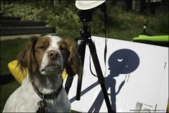 8-12 Eva: the grumpy professor (Dave (www.thePhotonWhisperer.com)) Tags: eclipse brittanyspaniel eclipse2017 dog science professor grumpy