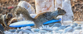 Lucy the Rock Squirrel Surfer..