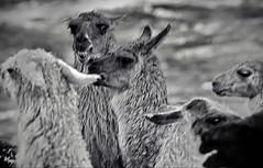Angry llama near Cuzco (gerard eder) Tags: world travel reise viajes america southamerica südamerika sudamérica sudamerica peru perú cuzco andes andino animals animales llamas lamas natur nature naturaleza bw sw blackandwhite outdoor