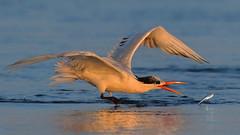 Fishing! (bmse) Tags: elegant tern bolsa chica fish fishing golden light sunset bmse salah baazizi wingsinmotion canon 7d2 400mm f56 l