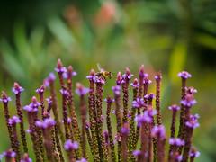 Filigrane Schönheit - 2 (mohnblume2013) Tags: biene blüte fokus natur insekt wespe filigran bokeh