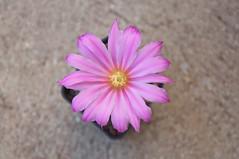Echinocereus metorni (douneika) Tags: echinocereus metorni cactus cactaceae taxonomy:family=cactaceae taxonomy:binomial=echinocereusmetorni
