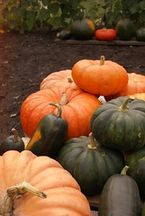 DreamyReality (obsequies) Tags: pumpkinpatch kitchengarden garden pumpkins squash homegrown homestead gardening whimsy whimsical heirloom cinderella butternutsquash fairytale omaha algonquin canada manitoba fall autumn harvest leaves september october orange rainbow colorful colourful magic seasons nature earthy green hippie boho grunge goth weirdo fae fairy love gourds halloween happy