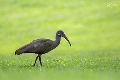 Hadada Ibis (V I J U) Tags: 2016 africa kenya lakenaivasha nature safari travel vijujose wildlife karagita nakuru ke ibis hadadaibis ef500mmf4lisii canon5dmarkiii