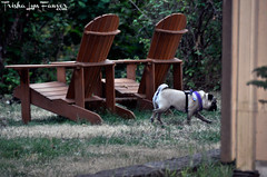 Oregon0817-09 (TrishaLyn) Tags: oregon elmira chairs adirondackchairs dogs animals pugs fawnpug pixel pixelpugprincess