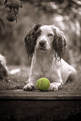 The tennis ball (Missy Jussy) Tags: ball dog peach tree portrait dogportrait englishspringer springerspaniel spaniel rupert rupertbear sepia france holiday garden play pet animal bokeh steps grass canon canon5dmarkll selectcolour macro 100mm littledoglaughednoiret