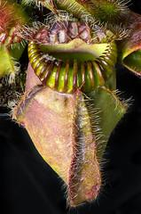 Cephalotus follicularis macro (hopeliesinproles) Tags: pitcher australia plant carnivorous cephalotus
