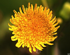 20 aug. (Kens images) Tags: flowers yellow nature gardens lakes texture scent canon macro