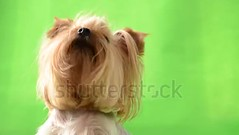 Yorkshire terrier on a green background. (daria.boteva) Tags: adorable adult animal background black breed brown camera canine carnivore chroma chromakey creature cub cute dog doggy domestic friend fur furry glamour hair haired isolated key keying lap little mammal months panting pedigree pedigreed pet portrait pup puppy purebred ribbon shot sitting suited terrier whelp york yorkie yorkshire