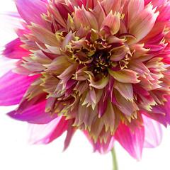 Dahlia! (Explored) (hehaden) Tags: flower dahlia pink garden sussexprairies sussexprairiegarden henfield sussex square sel90m28g