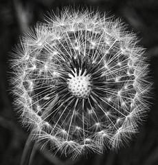 Fairy dandelion seed head main bw (Ray Duffill) Tags: dandelion seeds fairy blackandwhite monochrome