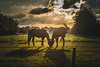 Horses in the evening (sjacomanuputty) Tags: horses horse animal sunlight sun sunset sunflare rayoflight clouds cloud sky nether dutch shadow silhouette evening eveninglight eveningsky