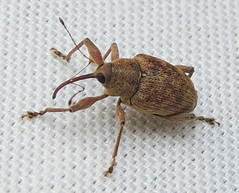 Weevil: Curculio sp. (Anita363) Tags: unidentified curculio curculionini curculioninae curculionidae curculionoidea cucujiformia polyphaga coleoptera weevil beetle insect fauna yard highlandpark newjersey nj august mercuryvaporlamp