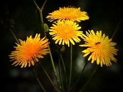 Dandelions (crossarthur76) Tags: dandelions nature