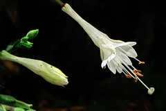J20170914-0085—Epilobium canum—RPBG—DxO (John Rusk) Tags: dxofujivelvia50preset ebparksok taxonomy:kingdom=plantae plantae taxonomy:subkingdom=tracheophyta tracheophyta taxonomy:phylum=magnoliophyta magnoliophyta taxonomy:class=magnoliopsida magnoliopsida taxonomy:order=myrtales myrtales taxonomy:family=onagraceae onagraceae taxonomy:genus=epilobium epilobium taxonomy:species=canum taxonomy:binomial=epilobiumcanum epilobiumcanum hummingbirdtrumpet zauschneria californiafuchsia taxonomy:common=hummingbirdtrumpet taxonomy:common=zauschneria taxonomy:common=californiafuchsia