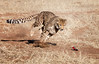 namibia 2017 (mauriziopeddis) Tags: africa namibia cheetah conservation found animal animali animals nature ghpardi cats felini wildlife safari savana bush protezione protection run runner running canon velocità