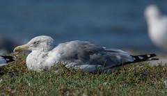 California Gull (Larus californicus) (ekroc101) Tags: birds californiagull laruscalifornicus bc colwood esquimaltlagoon