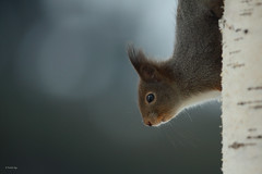 Eurasian Red Squirrel (Fredrik Stige/Wildlife Photography) Tags: squirrel redsquirrel wildlife animal norway nature mammals