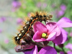 """ Now where is that juicy leaf? "" (seanwalsh4) Tags: caterpillar insect pinkflower nature 7dwf wednesdaysmacroorcloseup yellowtail causepainfulrashesifdisturbed yellowredwarningsigns furrypurewhitemoth euproctissimilis"