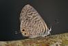 Leptotes pirithous (Linnaeus, 1767) (Jesús Tizón Taracido) Tags: lepidoptera papilionoidea lycaenidae polyommatinae polyommatini leptotespirithous