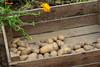 CKuchem-5990 (christine_kuchem) Tags: bauerngarten beet biogarten erde ernte erntekiste erntezeit feld frühkartoffel garten gartenerde gemüse gemüsebeet gemüsegarten glorietta grabgabel herbst holz holzkiste kartoffel kartoffelbeet kartoffelfeld kartoffelkiste kiste naturgarten nutzgarten pflanze privatgarten rarität sorte sortenvielfalt vielfalt alt bio biologisch frisch früh gesund naturnah natürlich reif