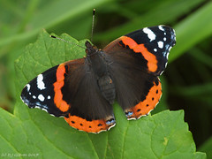 Red Admiral (ExeDave) Tags: p8295698 red admiral vanessa atalanta starcross teignbridge devon sw england gb uk invertebrate minibeast insect butterfly lepidoptera nature wildlife laneside roadside hedgerow hedge verge august 2017 upperside