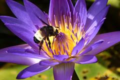 Bumble Bee.. (Kelley&Kelley) Tags: florida bumblebee bee waterlily lily nature wildlife wings insect nikon nikond7200 specanimal