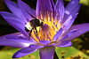 Bumble Bee.. (Kelley&Kelley) Tags: florida bumblebee bee waterlily lily nature wildlife wings insect nikon nikond7200 specanimal