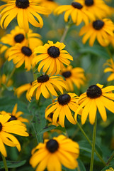 The Black-eyed Susan (rdodson76) Tags: blackeyedsusan rudbeckiahirta floral flora flowers foliage beauty pretty scent clean fresh yellow green nature natural happy joy petals stem holiday warm leaves
