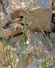 CAE005304a (jerryoldenettel) Tags: 170907 2017 broommilkwort fabales nm nm506122mileseastofitsjunctionwithus54 oteroco polygala polygalascorpioides polygalaceae rosids wildflower flower milkwort