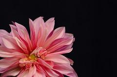 Dahlia (moke076) Tags: nikon d7000 flower dahlia colors pink black background single studio bright vivid 3porchfarm freedom farmers market atlanta ga luminous petals curly