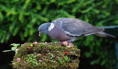 pigeon on autumn log (2) (Simon Dell Photography) Tags: pigeon garden old english country sheffield uk yorkshire stone wall giant pigeonzilla zilla monster model village micro bird table simon dell photography 2017 autumn image seasonal season massive large big wildlife
