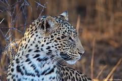 IMGP2965 Profile (Claudio e Lucia Images around the world) Tags: leopard leopardo tuliblock tuli botswana profile best sigma morning