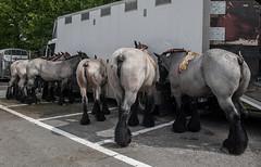 Wemmel, Jaarmarkt 2017 #55 (foto_morgana) Tags: animals belgique belgium belgië horses jaarmarkt2017 mammalia mammals mammifères outdoor säugetiere wemmel zoogdieren