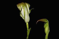 Pterostylis baptistii (andreas lambrianides) Tags: orchidaceae orchids australianflora australiannativeplants australiannativeorchids australianorchids pterostylisbaptissii kinggreenhood qld nsw vic