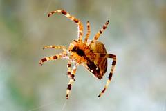 Macro Spider (Chris-17) Tags: araignée spider