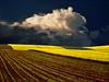 Yellow field (Katarina 2353) Tags: landscape yellow field spring katarina2353 katarinastefanovic