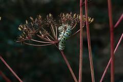 J20170914-0094—Anise swallowtail (Papilio zelicaon) on Perideridia kelloggii—RPBG—DxO (John Rusk) Tags: ebparksok taxonomy:kingdom=animalia animalia taxonomy:phylum=arthropoda arthropoda taxonomy:subphylum=hexapoda hexapoda taxonomy:class=insecta insecta taxonomy:subclass=pterygota pterygota taxonomy:order=lepidoptera lepidoptera taxonomy:superfamily=papilionoidea papilionoidea taxonomy:family=papilionidae papilionidae taxonomy:subfamily=papilioninae papilioninae taxonomy:tribe=papilionini papilionini taxonomy:genus=papilio papilio taxonomy:subgenus=papilio taxonomy:species=zelicaon taxonomy:binomial=papiliozelicaon mariposacometa papiliozelicaon aniseswallowtail papillondelanise taxonomy:common=mariposacometa taxonomy:common=aniseswallowtail taxonomy:common=papillondelanise taxonomy:kingdom=plantae plantae taxonomy:subkingdom=tracheophyta tracheophyta taxonomy:phylum=magnoliophyta magnoliophyta taxonomy:class=magnoliopsida magnoliopsida taxonomy:order=apiales apiales taxonomy:family=apiaceae apiaceae taxonomy:genus=perideridia perideridia taxonomy:species=kelloggii taxonomy:binomial=perideridiakelloggii perideridiakelloggii kelloggsyampah taxonomy:common=kelloggsyampah dxofujivelvia50preset dxofilmpack