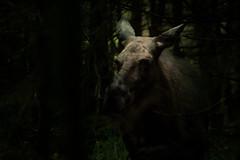 Moose hiding (Mads S. Hansen) Tags: nikon d7100 70300mm sweden nature natural light forest