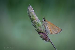 Dickkopffalter (Hesperiidae) im Gras